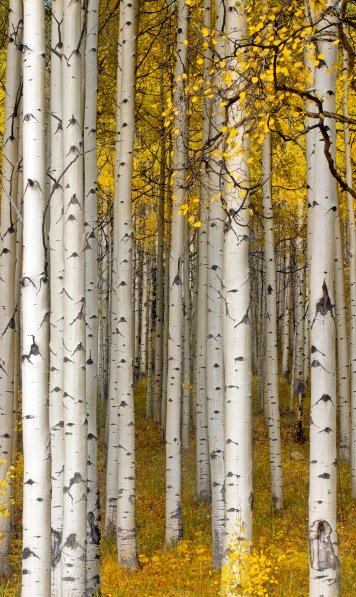 Autumn Aspens-small.jpg